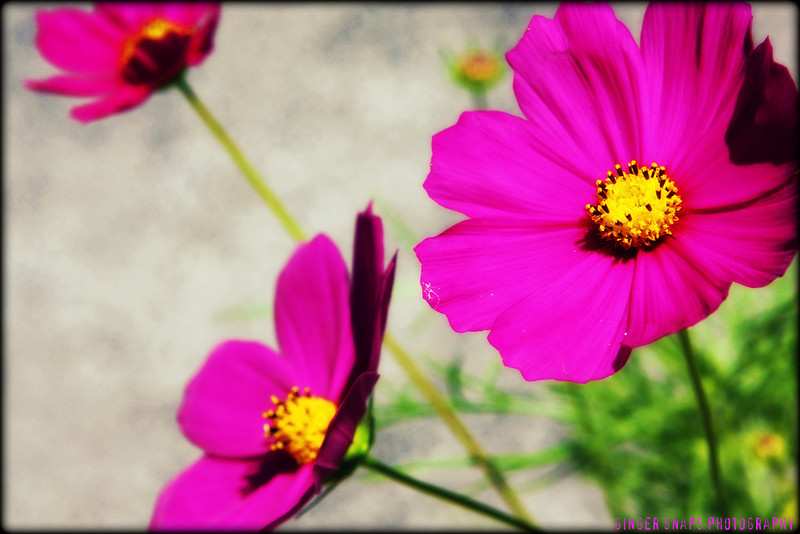 My favourite...cosmos.