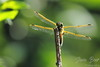 Dragonfly with bokeh