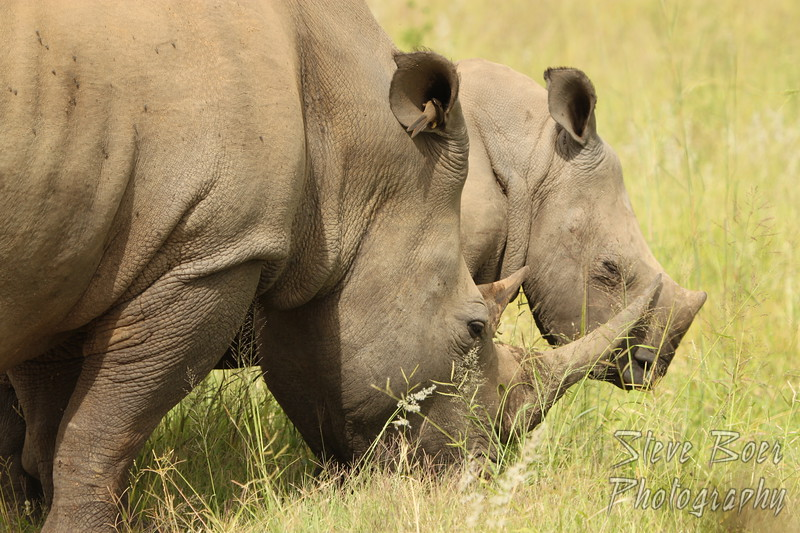 Rhino mother and baby