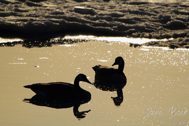 Canada Geese together