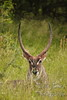 Waterbuck in the grass