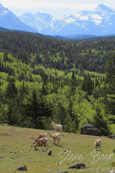 Group of Young Bighorn Sheep Grazing on Mountainside