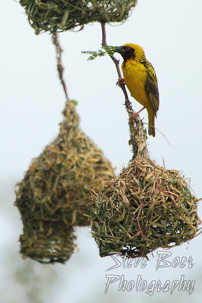 Weaver working on his nest
