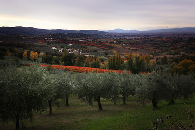 Olives and Wine, Montefalco, Italy