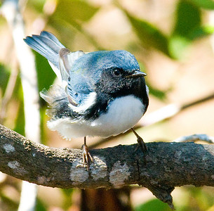 Black-throated Blue Warbler ~ Point Loma 2009