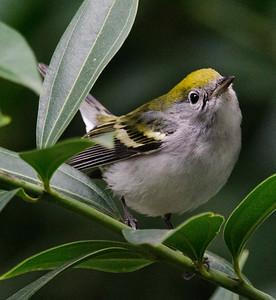 Chestnut-sided Warbler 12-17-10 Balboa Park
