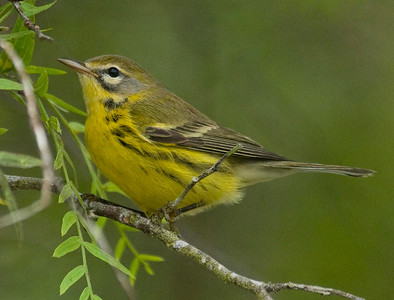 Prairie Warbler 9-21-10 Pt. Loma