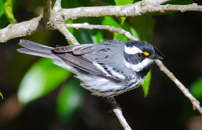 Black-throated Gray Warbler 4-13-11 The Drip