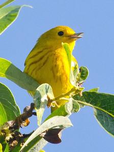 Yellow Warbler 4-9-11 MTRP