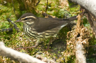 Northern Waterthrush 9-8-10 TRV