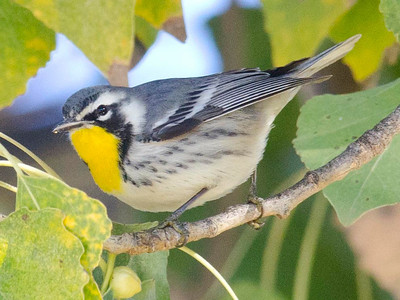 Yellow-throated warbler Lindo Lake 12-1-10