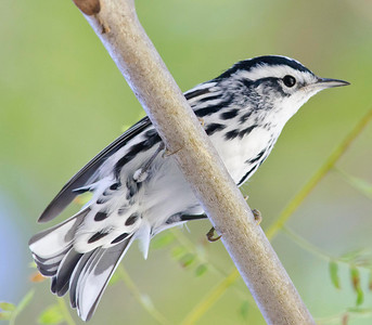 Black & White Warbler Eastlake 12-11-10
