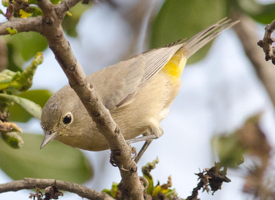 Virginia's Warbler  Del Mar 10-3-11