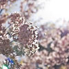 Title: Light Blossoms<br /> Date: April 2010