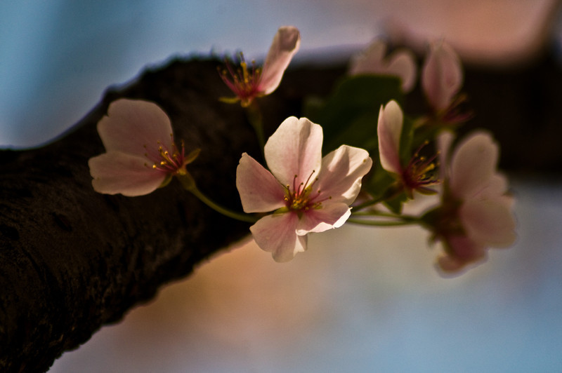 Title: A Single Blossoms<br /> Date: April 2010