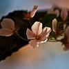 Title: A Single Blossoms<br /> Date: April 2010
