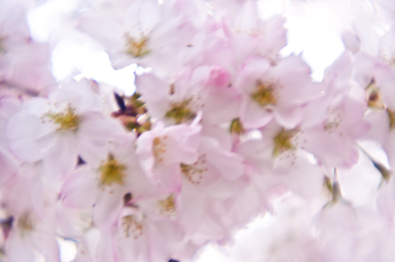 Title: Ethereal Blossoms<br /> Date: April 2011