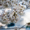 Title: Monumental Blossoms<br /> Date: April 2011