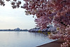 Jefferson Memorial  Cherry Blossoms  Washoington DC