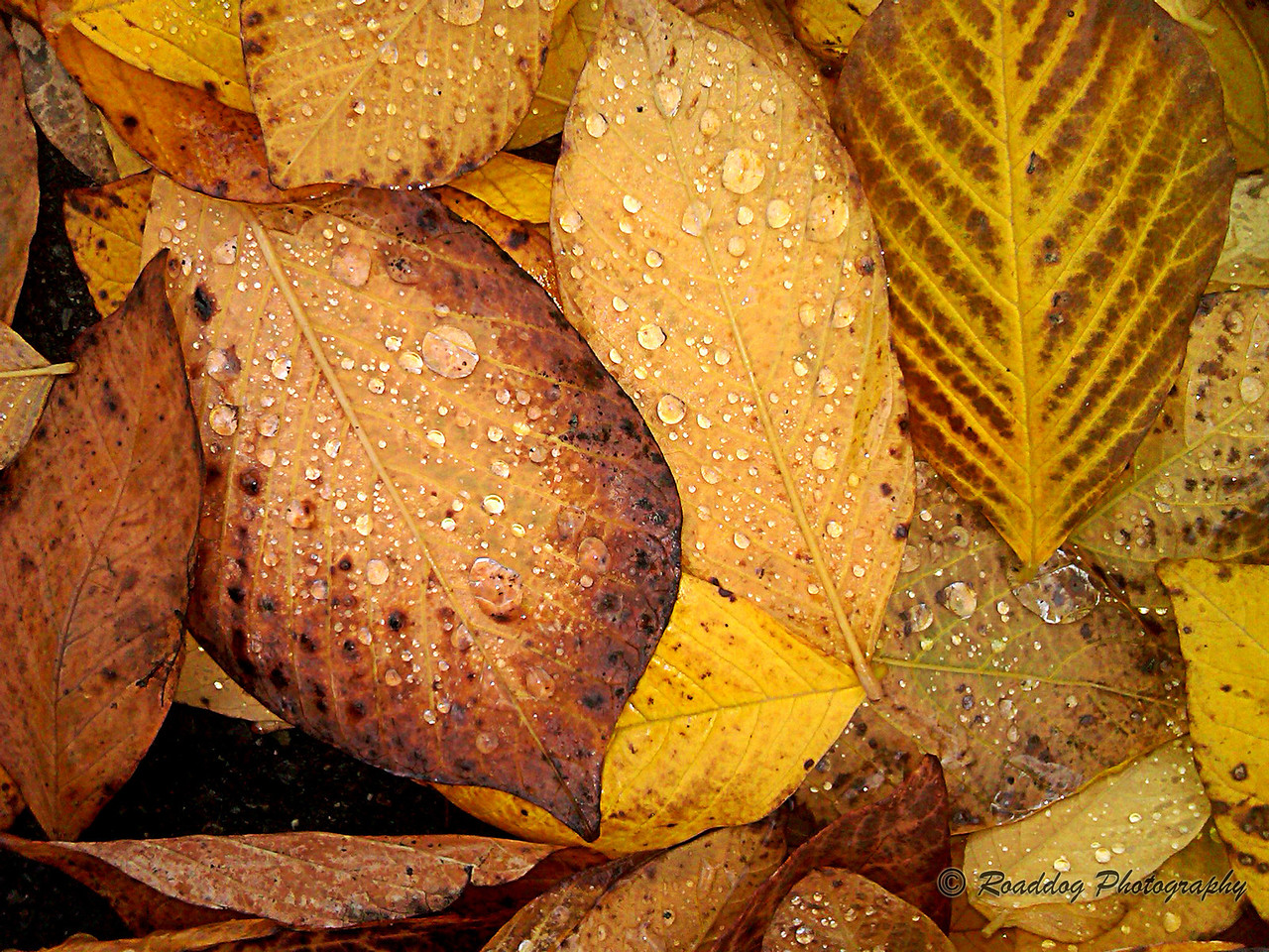 Autumn Rains #1<br /> <br /> Cell phone image captured on a walk between my office and shop.