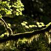 Vine Maple-moss