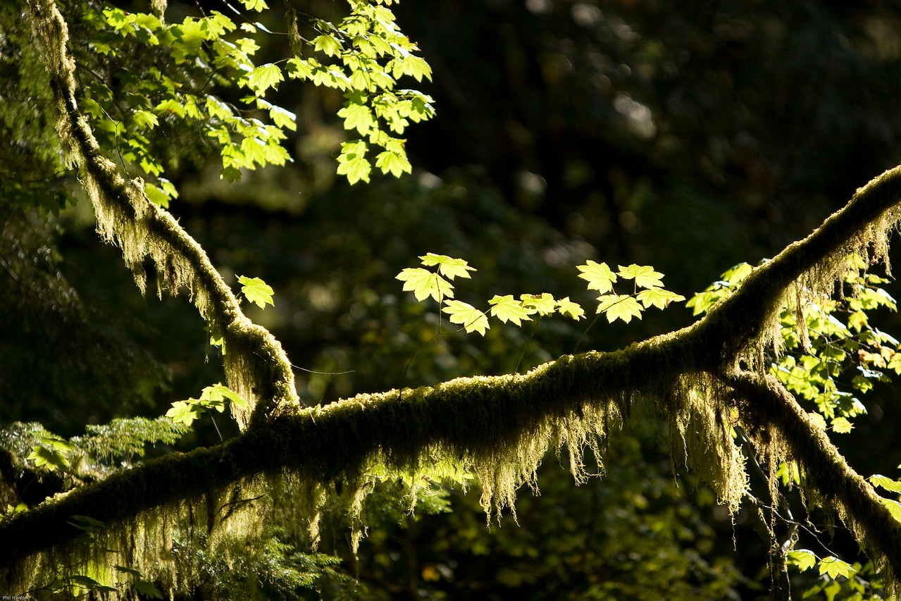 Vine Maple-moss