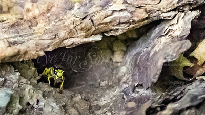 Yellow Jacket (Wasp)