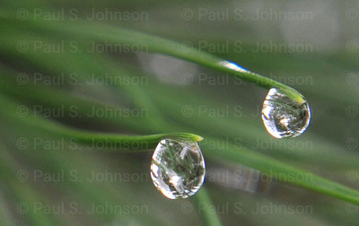 Water_Drops_On_Pine_0_Detail