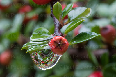 Red Berry Drop
