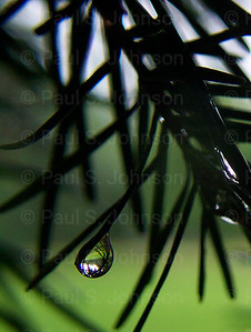 Water_Drops_On_Pine_2