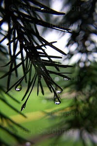 Water-Drops_On_Pine_3