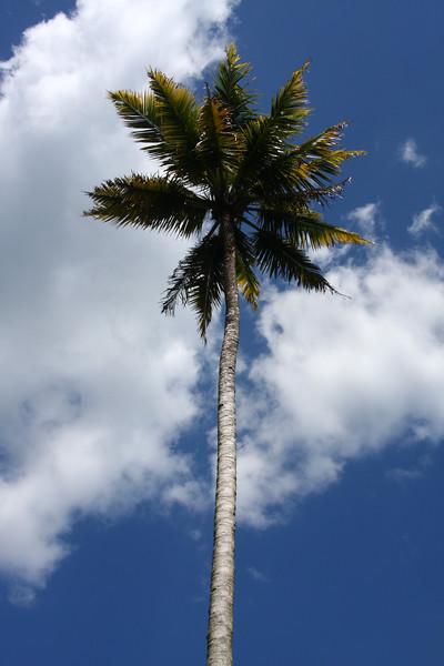 JamaicanpalmIMG