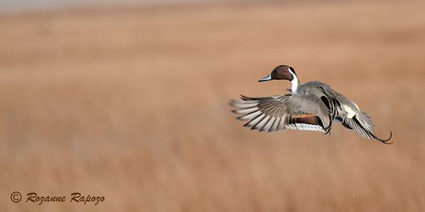 """Pintail in Flight"""