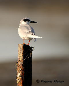 """""""A Good Tern Deserves Another"""""""