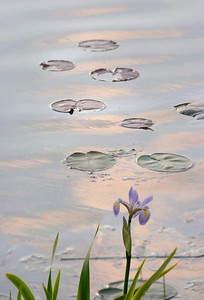Iris with Lilypads