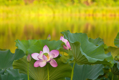 Lotus blossom with golden reflections