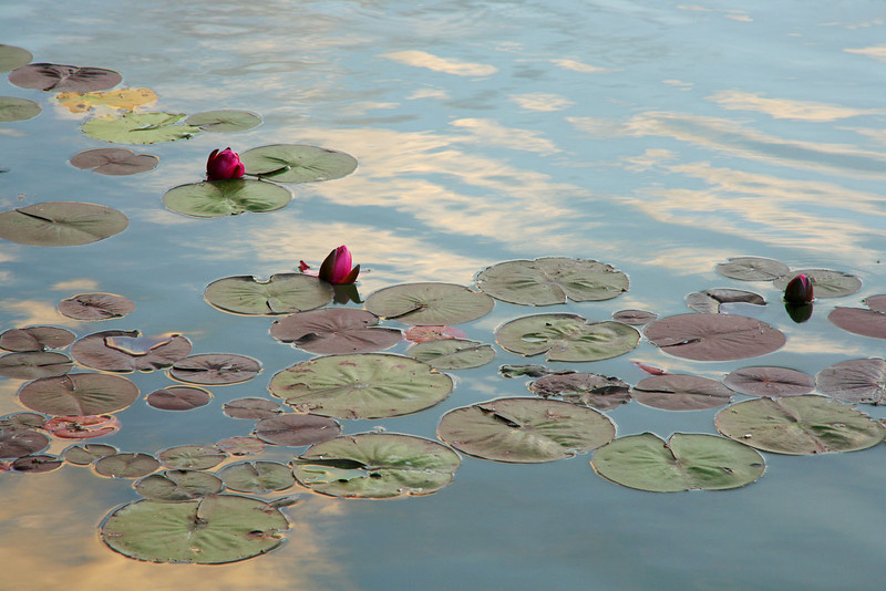 Lilypads with sky reflections