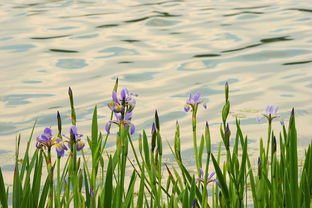 Irises at the lake