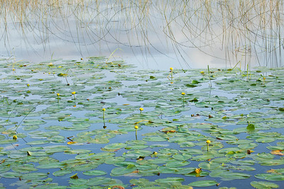 Lilypads with reeds