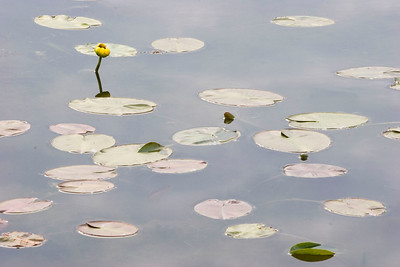 Serene lilypads
