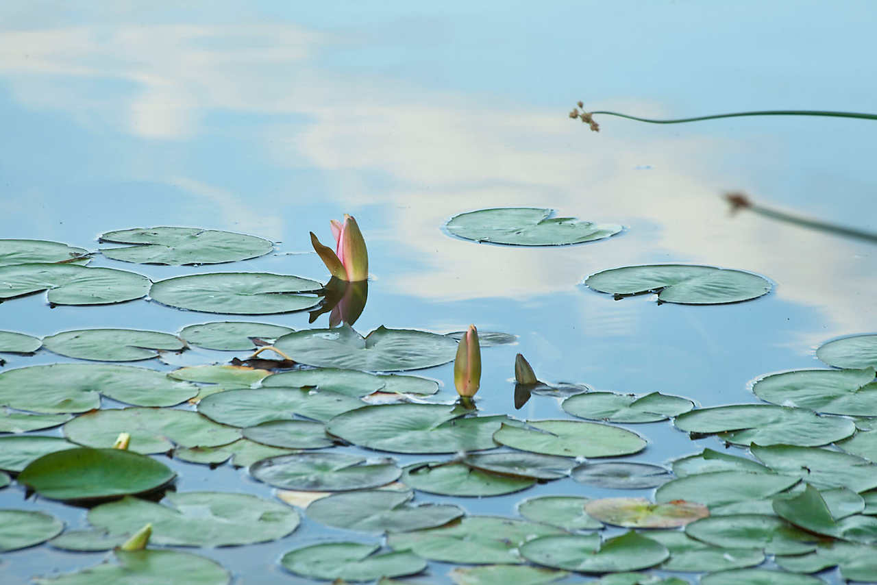 Lilypads with soft clouds 2