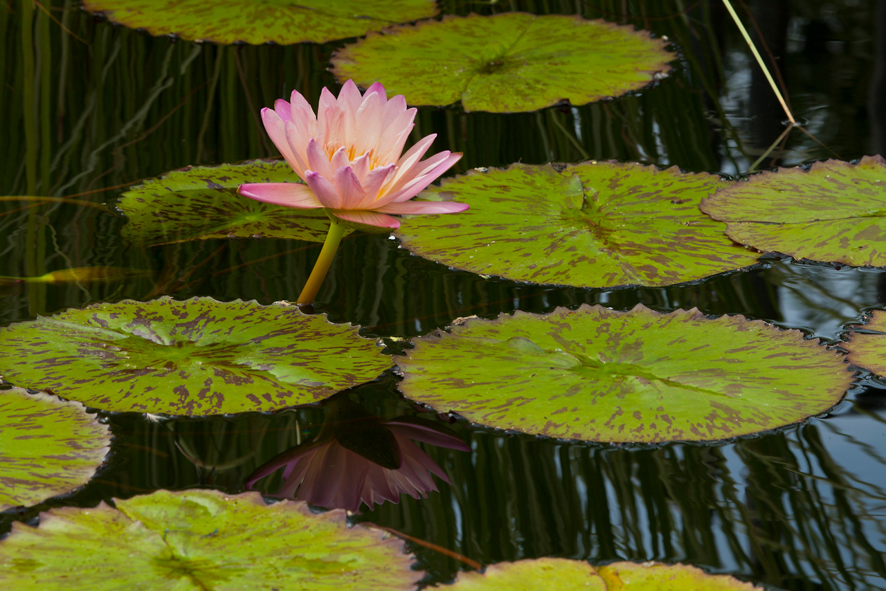 Pink waterlily 1