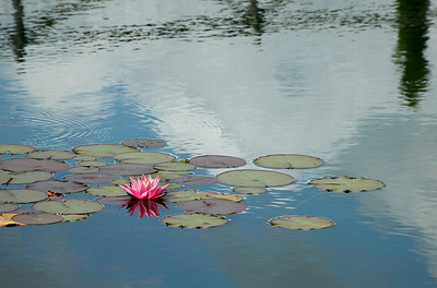 Tuscan waterlily