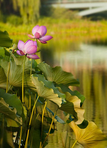 Lotuses in golden light