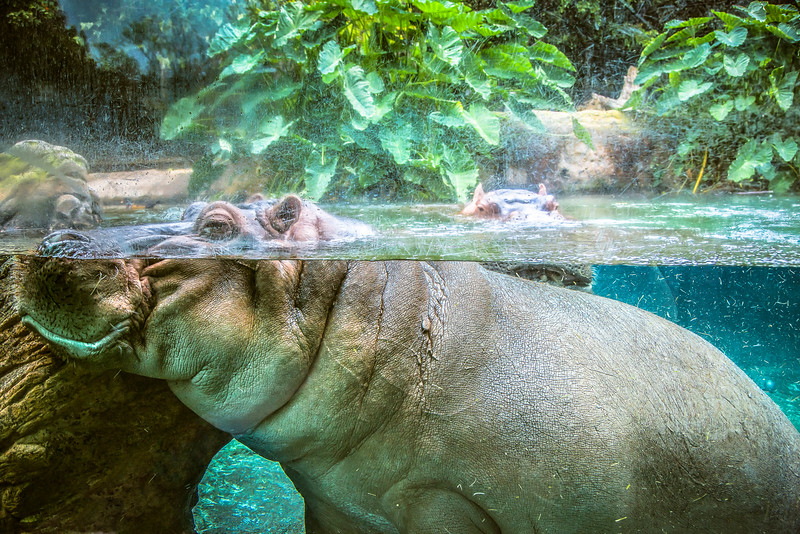 Healthy Hippos