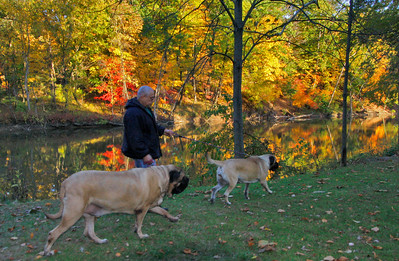 10/18/09 Angel Velez of Elyria lets his dogs-Amadeos and Malkon- do some sniffing as they walk alon the bakn lf the Black River in Cascade Park. Phofo by Tom Mahl
