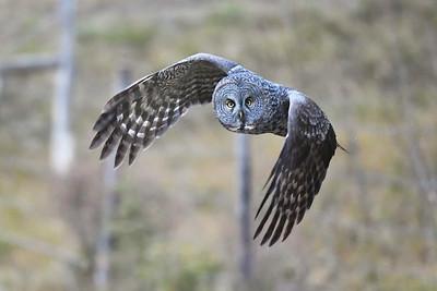 #1323 Great Gray Owl