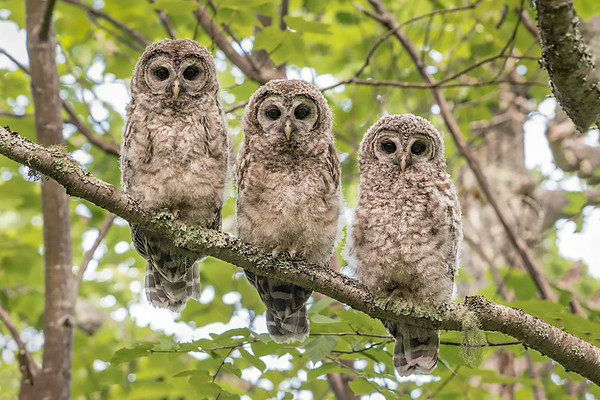 #739 Barred Owlets