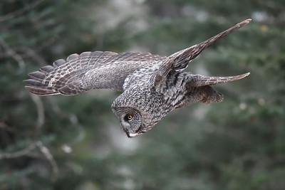 #1319 Great Gray Owl