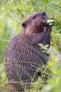 #1264 Beaver